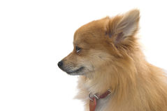 Perro de Pomerania de Pomeranian fotos de archivo