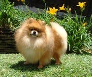 Perro de Pomerania de Pomeranian Fotografía de archivo libre de regalías