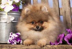 Perro de Pomerania de Pomeranian Imágenes de archivo libres de regalías