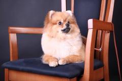 Perro de Pomerania de Pomeranian Foto de archivo