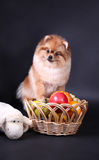 Perro de Pomerania de Pomeranian Fotografía de archivo