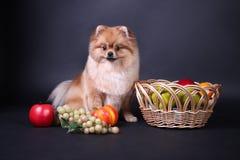 Perro de Pomerania de Pomeranian Imagen de archivo