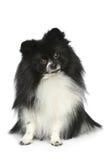 Perro de Pomerania de Pomeranian en un fondo blanco Foto de archivo libre de regalías