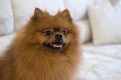 Perro de Pomerania de Pomeranian en un sofá Imágenes de archivo libres de regalías