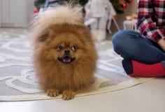 Perro de Pomerania de Pomeransky en el apartamento Fotos de archivo libres de regalías