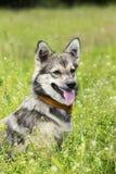 Perro de Pomerania de Visigoth de la raza del perro Fotos de archivo