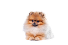 Perro de Pomerania de Zverg, Pomeranian Imagenes de archivo
