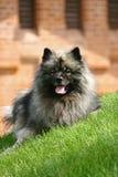 Perro de Pomerania del lobo Imagen de archivo