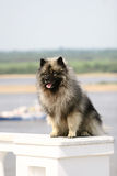 Perro de Pomerania del lobo Fotos de archivo libres de regalías