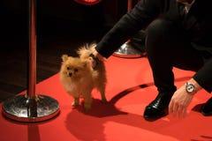 Perro de Pomerania del perro en la alfombra roja fotos de archivo libres de regalías