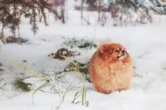 Perro de Pomerania en el bosque del invierno imagen de archivo