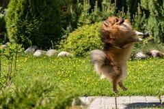 Perro de Pomerania en un salto en el fondo de la naturaleza imagen de archivo libre de regalías