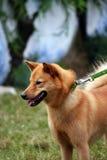 Perro de Pomerania finlandés Imagen de archivo libre de regalías