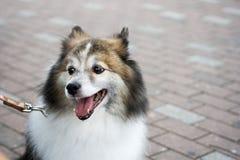 Perro de Pomerania japonés Fotos de archivo libres de regalías