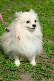 Perro de Pomerania japonés Imagen de archivo