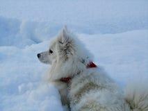 Perro de Pomerania japonés en nieve en Noruega fotos de archivo