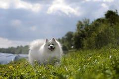 Perro de Pomerania japonés Fotos de archivo