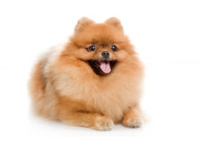 Perro de Pomerania, perro de Pomeranian Foto de archivo libre de regalías