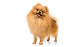 Perro de Pomerania-perro en estudio Fotos de archivo