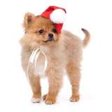 Perro de Pomerania-perro en traje del Año Nuevo Imagen de archivo libre de regalías