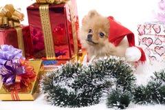 Perro de Pomerania-perro en traje del Año Nuevo Foto de archivo libre de regalías
