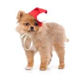 Perro de Pomerania-perro en traje del Año Nuevo Imagenes de archivo