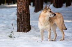 Perro de Pomerania-perro finlandés Imagenes de archivo