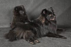 Perro de Pomerania-perro y perrito Fotografía de archivo libre de regalías