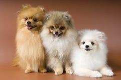 Perro de Pomerania-perros en estudio Imagenes de archivo