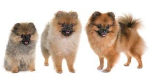 Perro de Pomerania pomeranian tres Fotografía de archivo libre de regalías