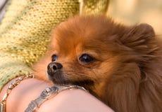 perro de Pomerania rojo fotografía de archivo