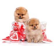 Perro de Pomerania y el símbolo del corazón del amor Fotos de archivo libres de regalías