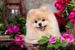Perro de Pomerania y rosas Imagenes de archivo