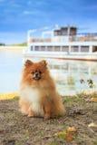 Perro de Pomeranian Fotos de archivo libres de regalías