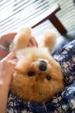 Perro de Pomeranian Foto de archivo libre de regalías