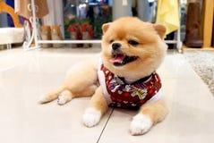 Perro de Pomeranian Fotos de archivo