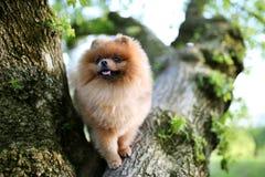 Perro de Pomeranian en árbol Perro hermoso spitz imagen de archivo libre de regalías
