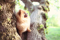 Perro de Pomeranian en árbol Perro hermoso spitz fotografía de archivo libre de regalías