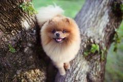 Perro de Pomeranian en árbol Perro hermoso spitz fotos de archivo libres de regalías