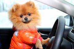 Perro de Pomeranian en coche Perro lindo en coche Foto de archivo