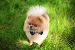 Perro de Pomeranian en hierba verde Perro al aire libre Perro hermoso spitz fotografía de archivo libre de regalías