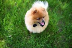 Perro de Pomeranian en hierba verde Perro al aire libre Perro hermoso spitz fotos de archivo libres de regalías