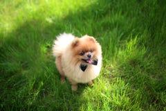 Perro de Pomeranian en hierba verde Perro al aire libre Perro hermoso spitz imagen de archivo