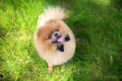 Perro de Pomeranian en hierba verde Perro al aire libre Perro hermoso spitz fotos de archivo