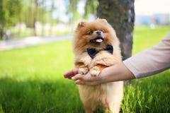 Perro de Pomeranian en hierba verde Perro al aire libre Perro hermoso spitz imagen de archivo libre de regalías