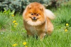 Perro de Pomeranian en la hierba Fotos de archivo libres de regalías
