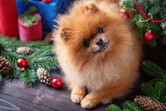 Perro de Pomeranian en sombrero de la Navidad con las decoraciones de la Navidad en fondo de madera oscuro El año del perro Perro Foto de archivo