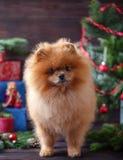 Perro de Pomeranian en sombrero de la Navidad con las decoraciones de la Navidad en fondo de madera oscuro El año del perro Perro Imagen de archivo