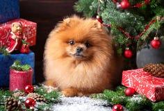 Perro de Pomeranian en sombrero de la Navidad con las decoraciones de la Navidad en fondo de madera oscuro El año del perro Perro Fotografía de archivo libre de regalías