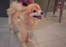Perro de Pomeranian lindo Imágenes de archivo libres de regalías